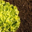 Fresh Lettuce in the Garden (top view) - Stock Photo