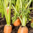 Some Carrots in the dirt — Stock Photo