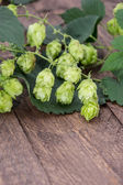 Hop (Humulus lupulus) — Stock Photo