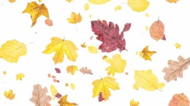 Leaves falling down on white background — Stock Video