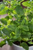 Mint plant (macro shot) — Stock Photo