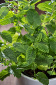 Mint plant (macro shot) — Stockfoto
