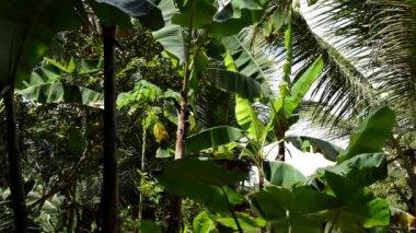 Banana Tree leaves — Stock Video