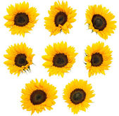 Differen Sunflowers isolated on white — Stock Photo