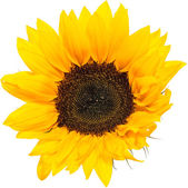Sunflower Head isolated on white — Stock Photo