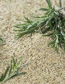 Rosemary Herbs — Stock Photo