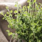 Small Oregano Plant — Stock Photo
