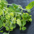 Small Oregano Plant — Stock Photo