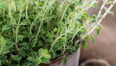Oregano Plant on wood — Stock Photo