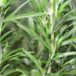 Stock Video: Rosemary Plant Rotating