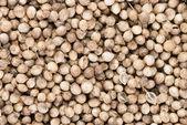 Semena koriandru — Stock fotografie
