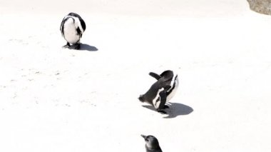 Pinguine — Stockvideo