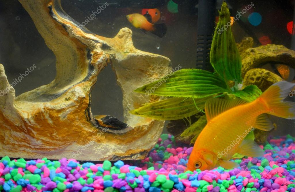 Poisson poisson rouge et guppy de com te photo 39215887 for Poisson rouge reste fond aquarium