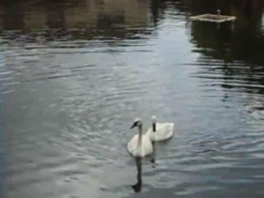 Cisnes brancos — Vídeo stock