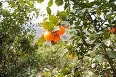 Fruit trees, gardens, orange tree — Zdjęcie stockowe