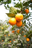 Fruit trees, gardens, orange tree — Stock Photo