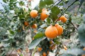 Pomar de fruta madura — Fotografia Stock