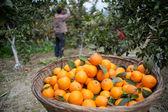 Picking the ripe fruit orchard — Stock Photo