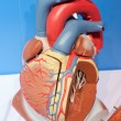 Human organs, heart model — Stock Photo