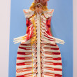 The human spine model, — Stock Photo