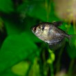 Black tetra (ternetzi) fish, closeup — Stock Photo #12677834