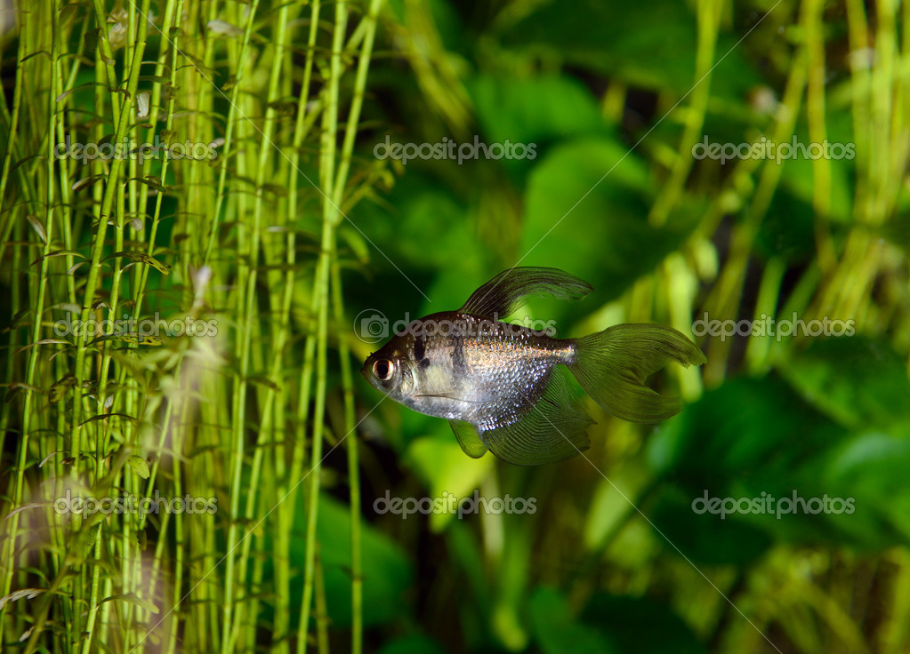 Black tetra (ternetzi) fish, closeup — Stock Photo #12677771