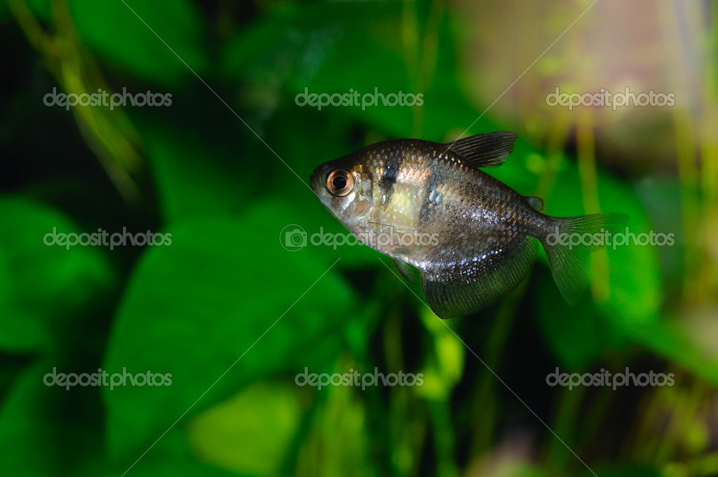 Black tetra (ternetzi) fish, closeup — Stock Photo #12677834