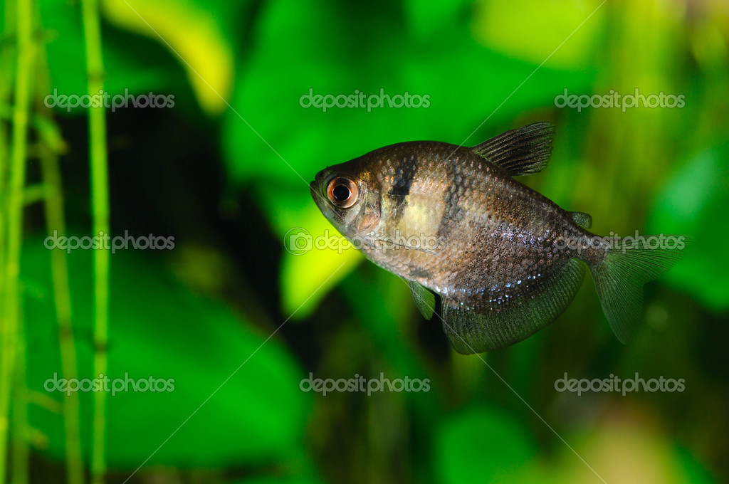 Black tetra (ternetzi) fish, closeup — Foto de Stock   #12677852