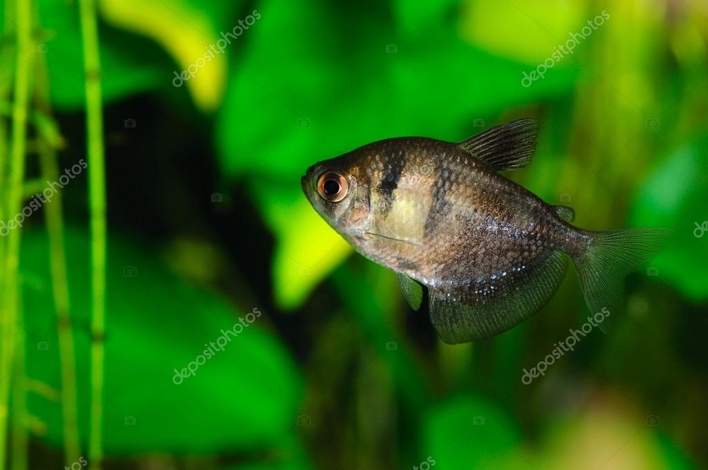 Black tetra (ternetzi) fish, closeup — 图库照片 #12677852