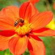 Flower and bee — Stock Photo