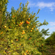 Orange tree — Stock Photo #17414189
