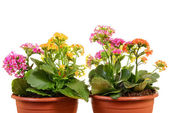 Kalanchoe flower — Stock Photo