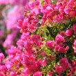 Bougainvillea — Stock Photo