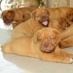 Dogue de bordeaux — Stock Photo #28666871