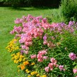Garden phlox — Stock Photo