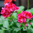 Geranium — Stock Photo #30735903