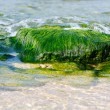 Seaweed — Stock Photo