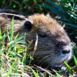 Nutria — Stock Photo