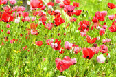 Anemone field — Stock Photo