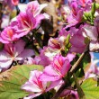 Bauhinia purpurea — Stock Photo