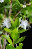 Myrtus myrtle — Stock Photo