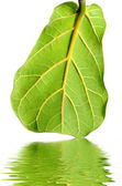 Ficus lirata leaf — Stock Photo