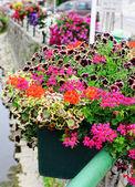 Geranium and petunia — Stock Photo