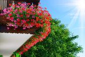 red and pink geranium — Stock Photo