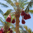 Date Palm Egypt — Stock Photo