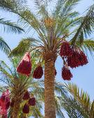 Date Palm Egypt — Stock Photo