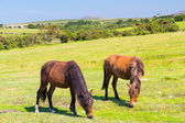 Horses Bodmin Moor Cornwall England — Stock Photo