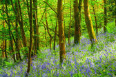 Cornish Bluebells Woods — Stock Photo