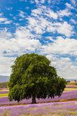 Lavender farm in Tasmania — Stockfoto