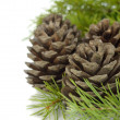 Cones and green twigs — Stock Photo #33548091